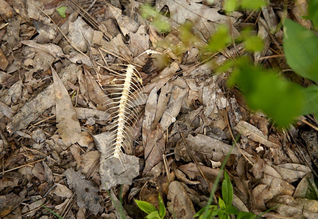 Fish bones lie near the lake shore in Caddo Lake National Wildlife Refuge in Karnack, Texas Tuesday June 19, 2018.