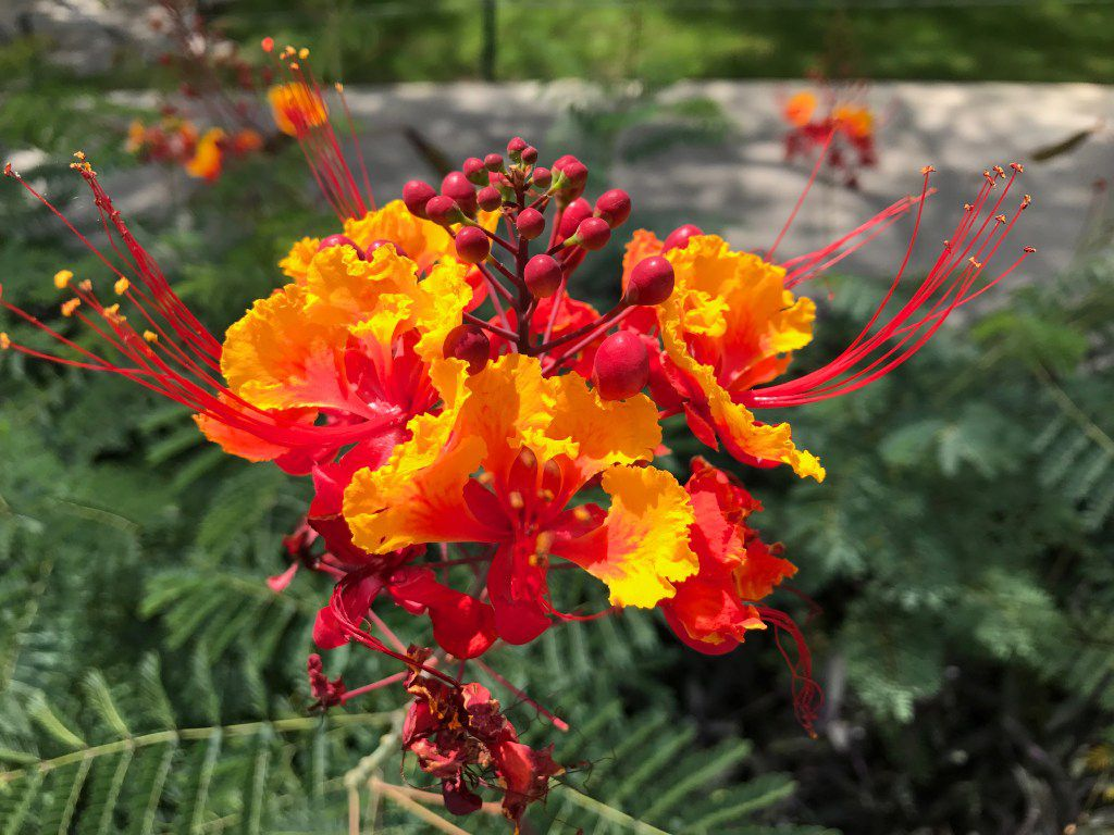 The Pride of Barbados (Caesalpinia pulcherrima) is the national flower of Barbados and a great option for North Texas.