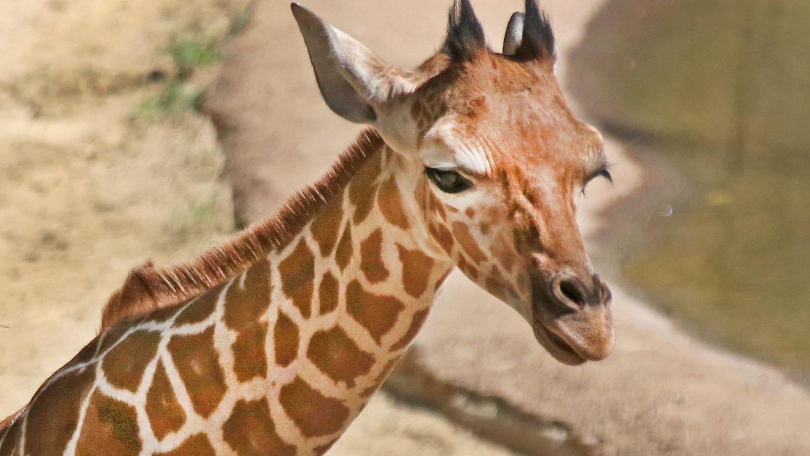 Wittem la jirafa bebé del Zoológico de Dallas. (DMN/Louis DeLuca)