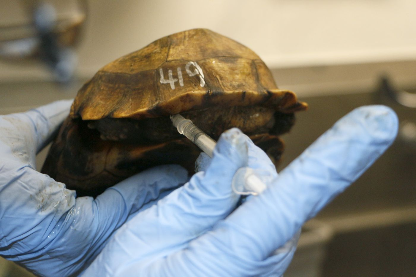 One of the Home's hinge-back tortoises that was sent to the zoo after being confiscated in Miami receives some medicine. Some of the tortoises had internal parasites and other health issues when they arrived.