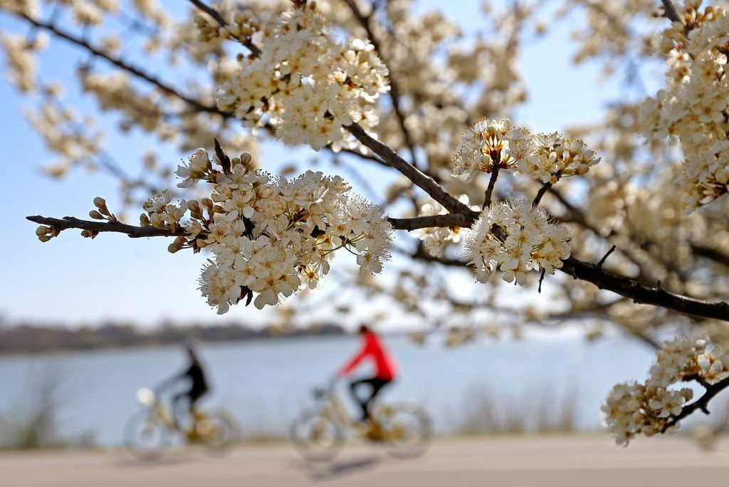 People ride bicycles past blooming cherry blossoms at White Rock Lake in Dallas on March 13.
