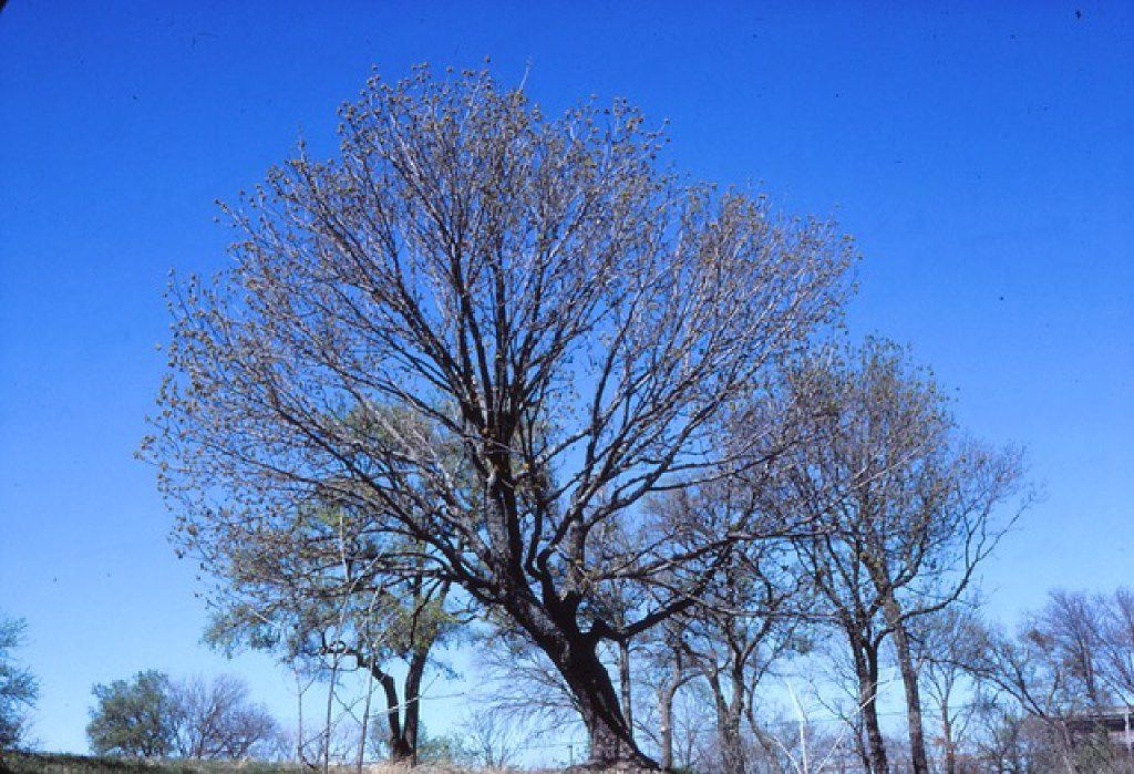 Graceful structure of Texas ash in winter