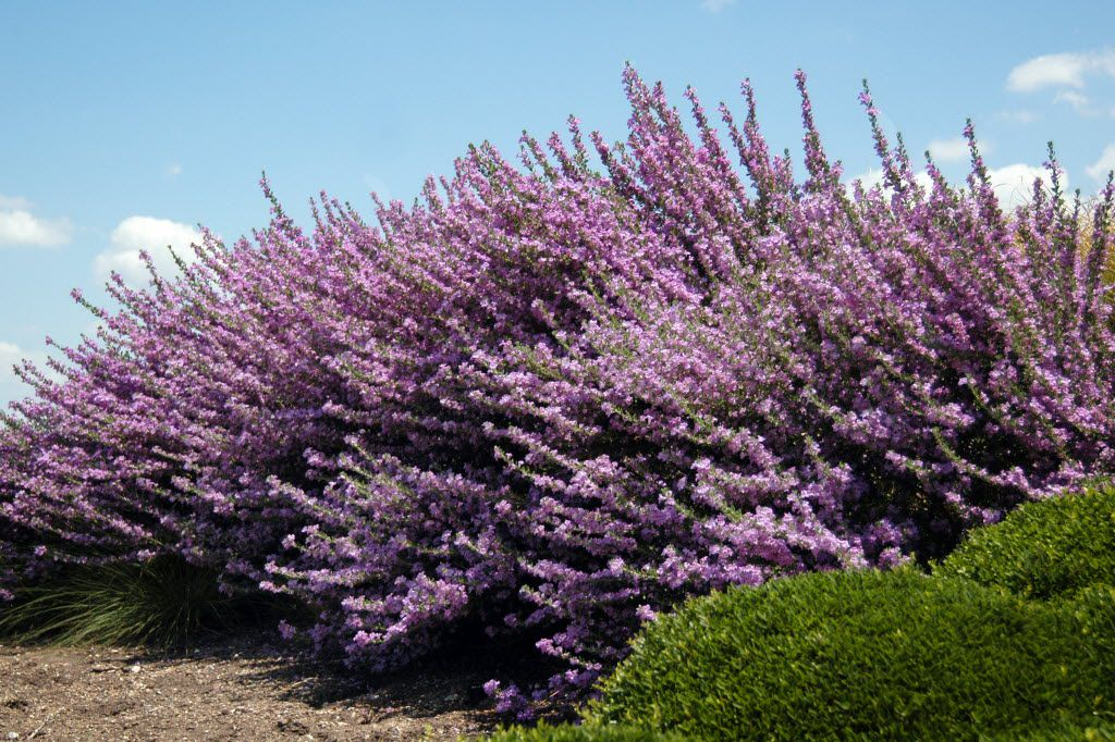 Texas sage, or cenizas, need to be planted in protected spots with elevated, well-draining soils.