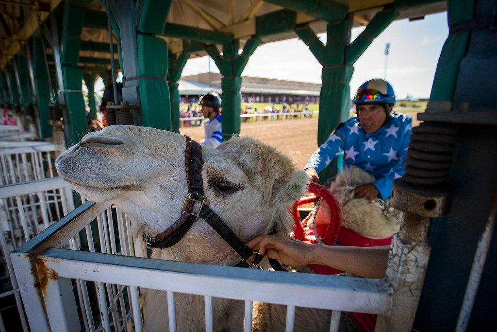 """Jockey Alex Alvarado prepares to ride a camel from the starting gates during """"Extreme Racing"""" at Lone Star Park on Saturday, April 28, 2018, in Grand Prairie, Texas. Ridden by Lone Star Park jockeys, camels, ostriches and zebras took to the track between horse races, with each animal paired with a local non-profit charity. (Smiley N. Pool/The Dallas Morning News)"""