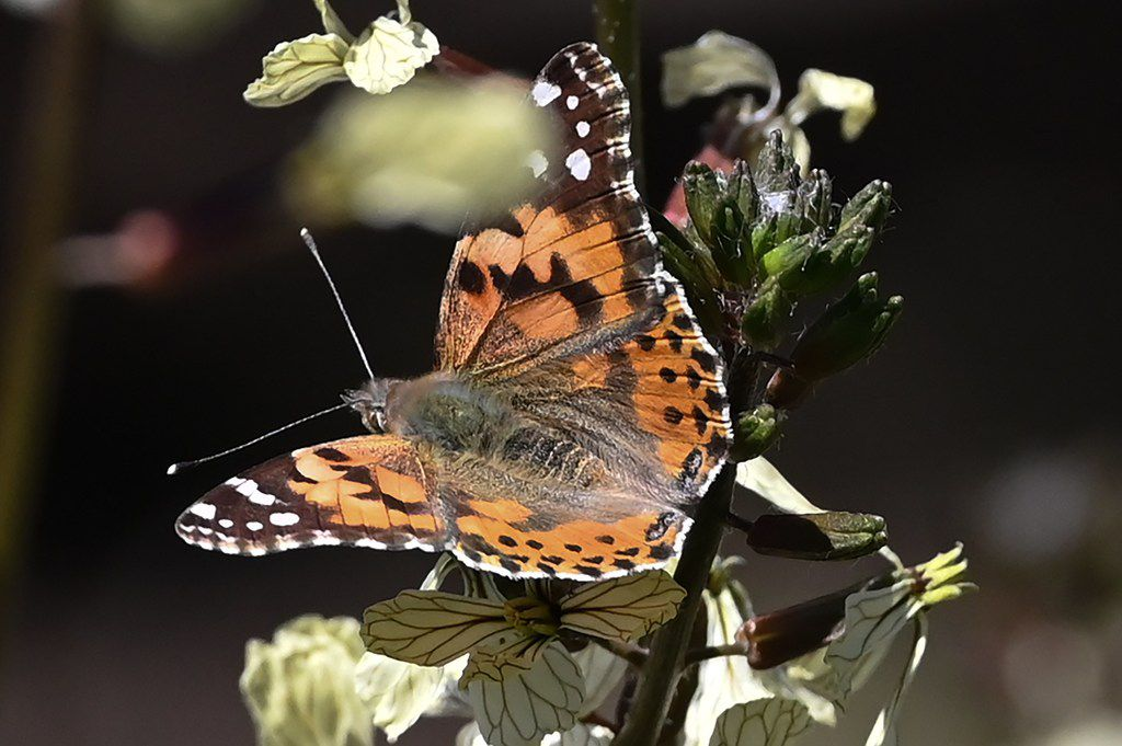 Painted lady butterflies, some of about 1 billion who are swarming through the skies of southern California during their migration north from Mexico, feed on arugula flowers in Glendale, Calif., March 13, 2019.