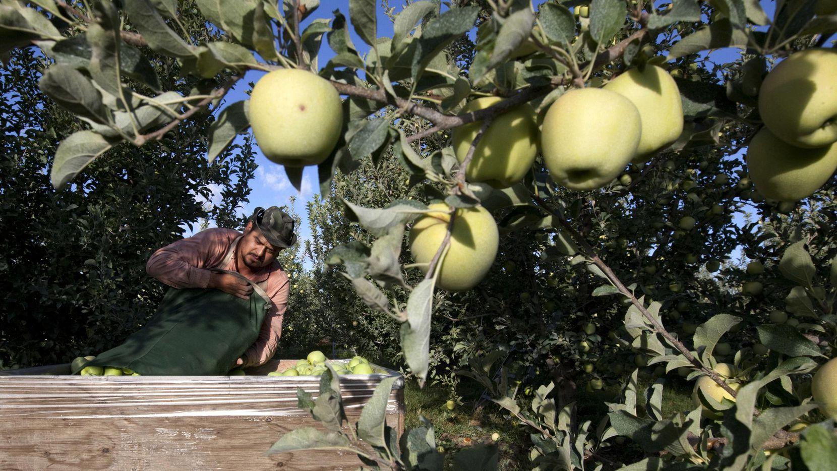 Sergio García vacía una bolsa de manzanas que acaba de recoger en una granja de Wapato, Washington. (AP/GORDON KING)