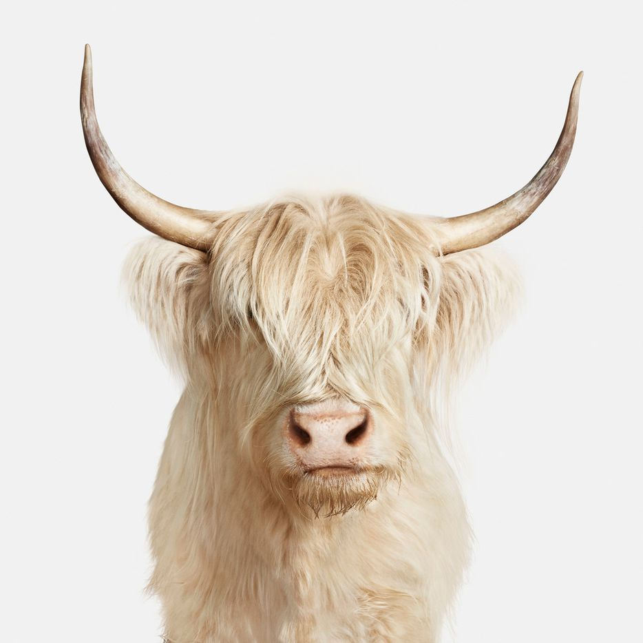 'Highland Cow No. 1'