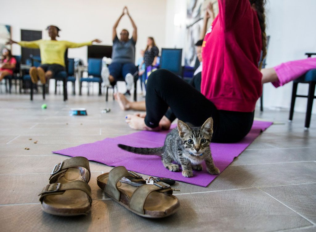 A kitten sits on a yoga mat next to Anna Hurst during a kitten yoga class hosted by Attiva Central Park and Prairie Paws on Thursday, June 20, 2019 at Attiva Central Park in Grand Prairie.