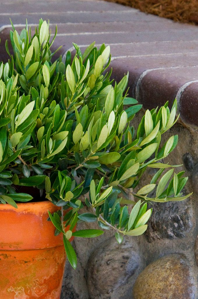 'Little Ollie' dwarf fruitless olive tree from Monrovia