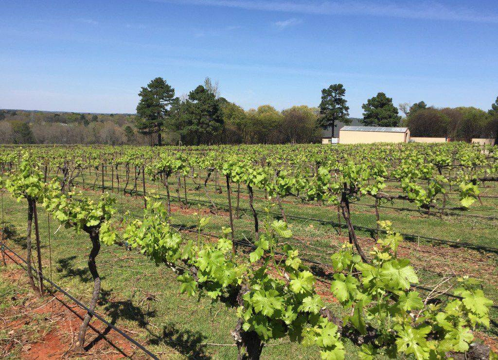 The vineyards at Kiepersol Estate Vineyard and Winery, Tyler