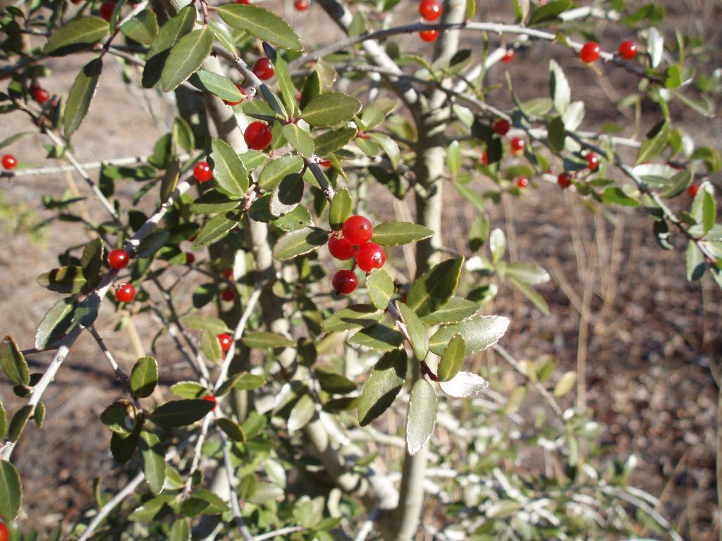 In winter, red berries embellish yaupon holly's spineless, scalloped leaves.