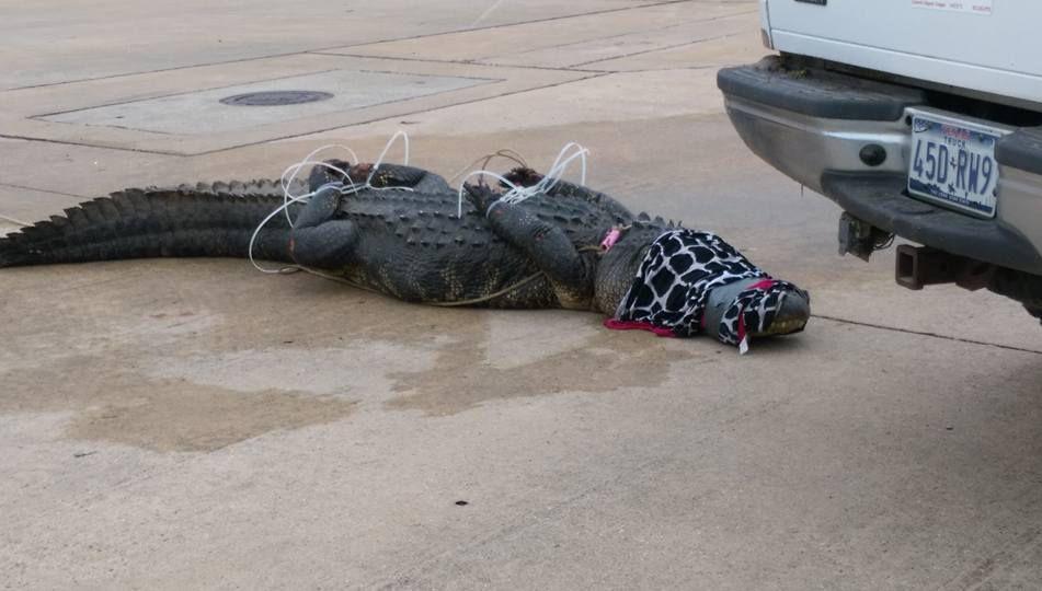 Este lagarto tuvo que ser amordazado en un Centro Comercial de Sugar Land, Texas.(FACEBOOK)