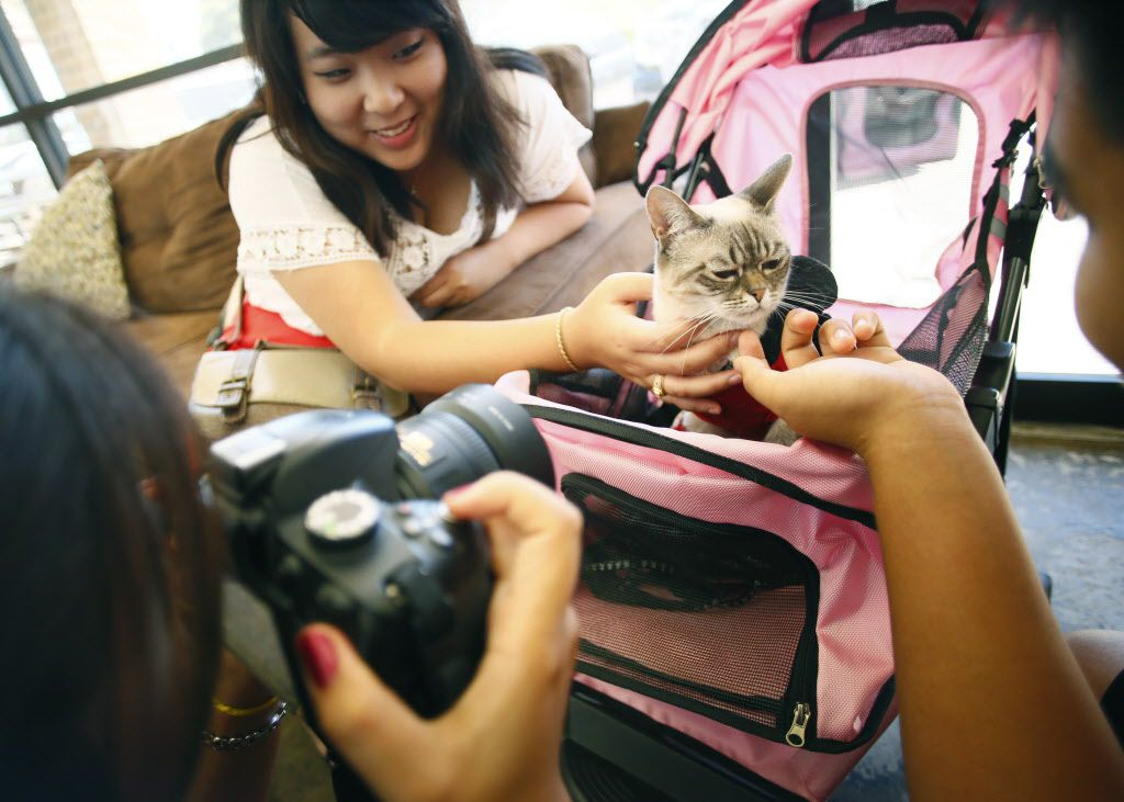 Jessica Pei, (from left) Christina Fu and Jeffrey Zhang pet and take a photo of Sauerkraut, the famous abandoned rescue cat at Cat Connection during the first cat cafe in Dallas August 8, 2015.
