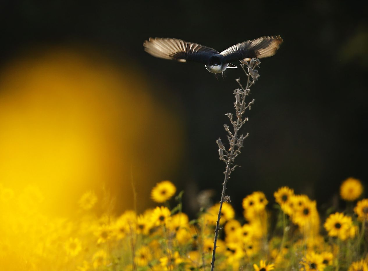 A bird takes flight over a prairie full of wildflowers.