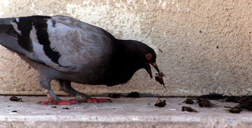 A pigeon feasts on a pile of dead crickets late Friday afternoon at Union Station in downtown Dallas.