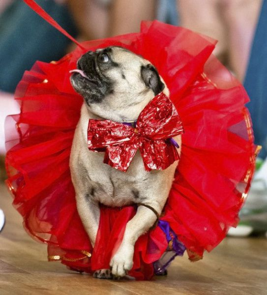 Pugs will don their cutest outfits for Project Pugway on Saturday.