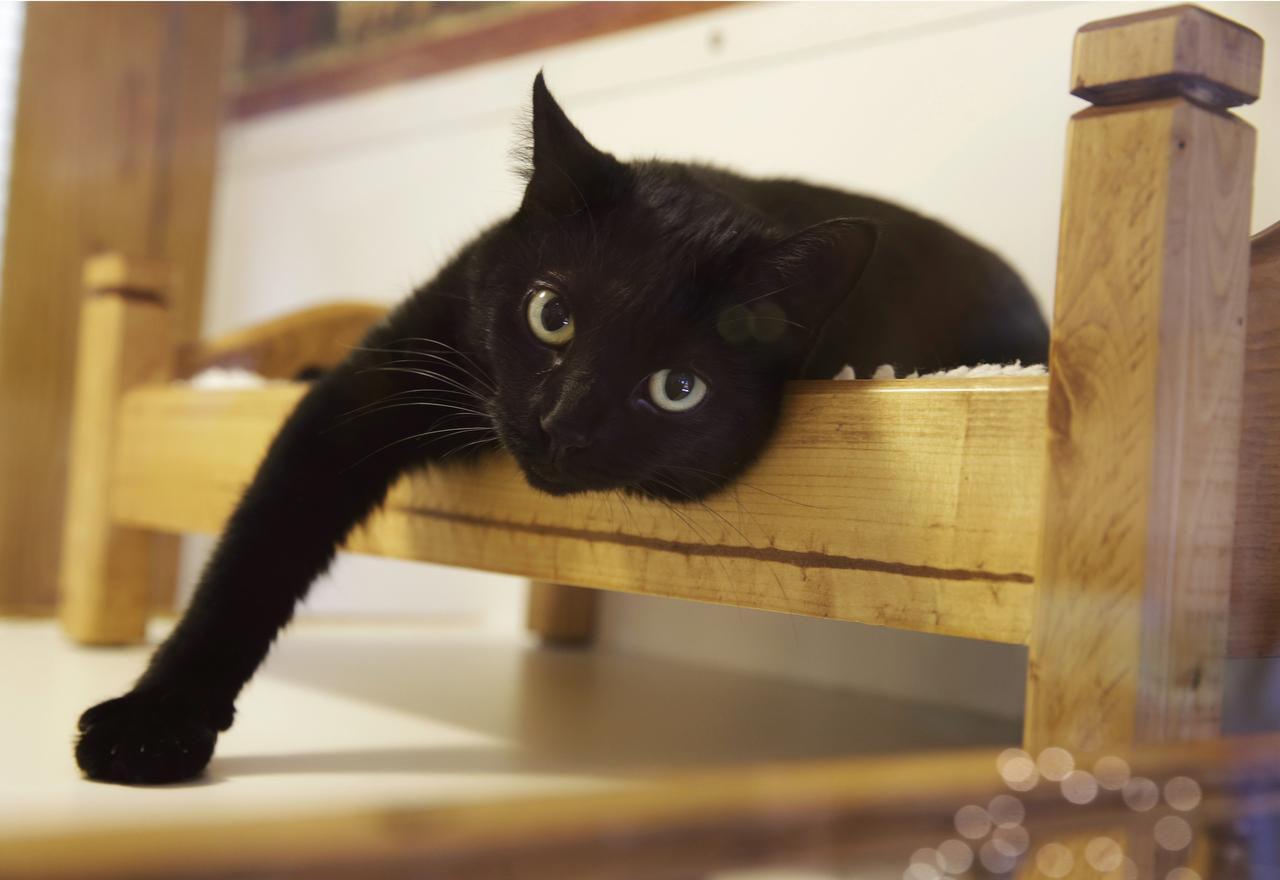 En esta foto del 4 de agosto del 2015, un gato reposa en una pequeña cama en Morristown, Nueva Jersey. Un proyecto de ley que se estudiaba en Nueva Jersey el febrero de 2017 es el primero en EEUU que prohibirá quitar las garras a los felinos. (AP/MEL EVANS)