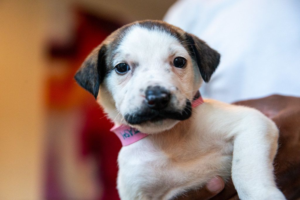 Salvador Dolly, a 5-week-old puppy, is photographed at the Hearts and Bones Rescue in Dallas on Thursday, Aug. 1, 2019. The puppy has gained internet fame for her coloring, which makes it appear as if she has a handlebar mustache.