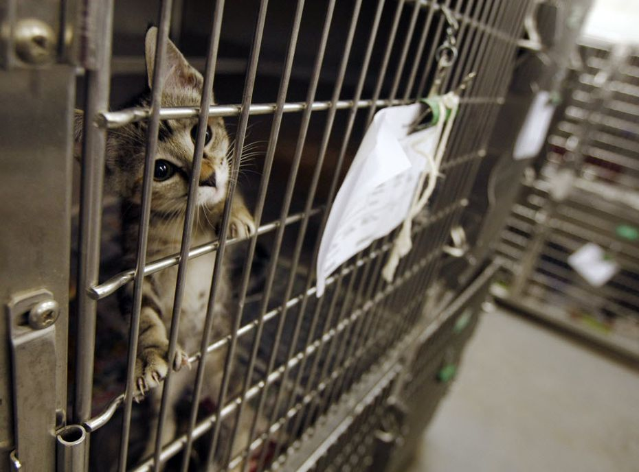 A cat waits for adoption at Dallas Animal Services.