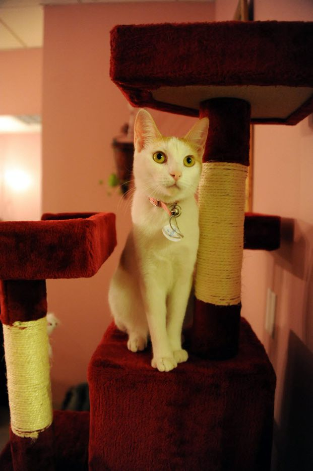 A cat perches on the cat tree.