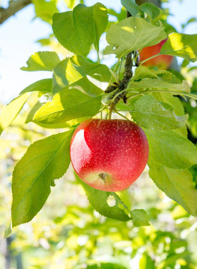 Red Gala apples
