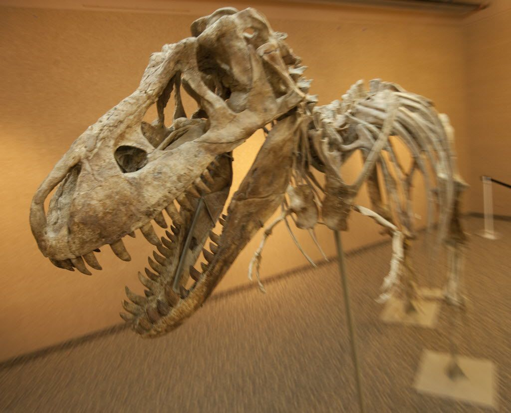 A 12-foot tall, 23-foot long, 75% complete Tyrannosaurus bataar, the slightly smaller Asian counterpart to the legendary North American T-Rex is displayed in New York by Heritage Galleries.