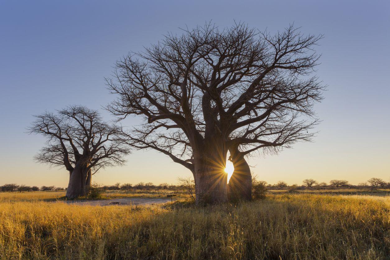 The sun rises behind a baobab tree in Botswana.