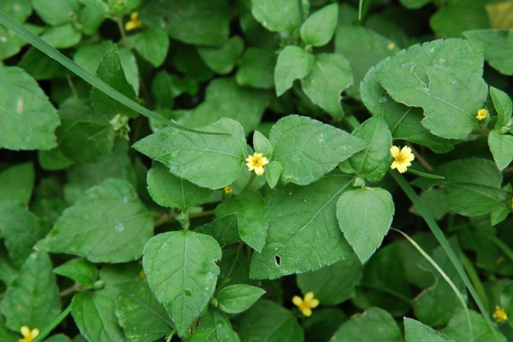 Horseherb is a native Texas ground cover that grows in shade.