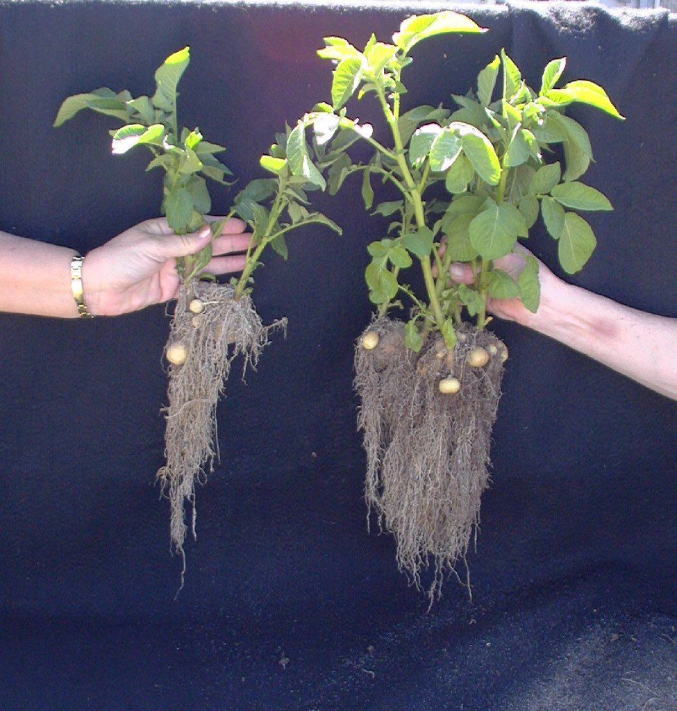 Notice the difference in root growth between unhealthy soil on the left and healthy soil on the right.