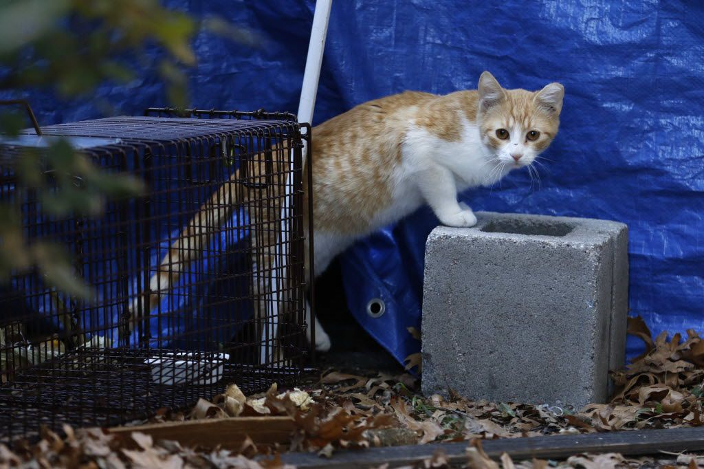 A feral cat approached a trap in the Camelot neighborhood in Garland two years ago. The city, through its trap/neuter/release program, was working to sterilize a colony of nearly 40 cats on the 3400 block of Castle Rock Lane and Ivanhoe Lane.