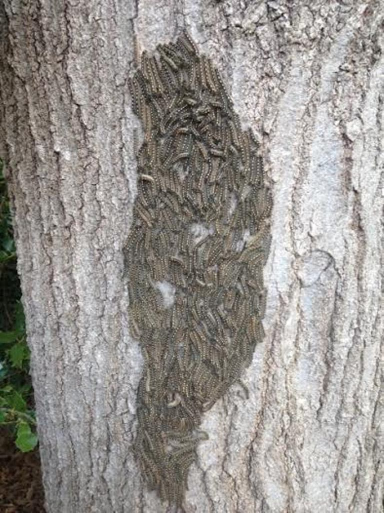 A spray of Bt or spinosad will take care of tent caterpillars.