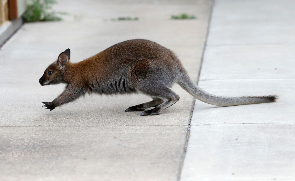 A wallaby roams near the front of a house in Dallas on Wednesday.