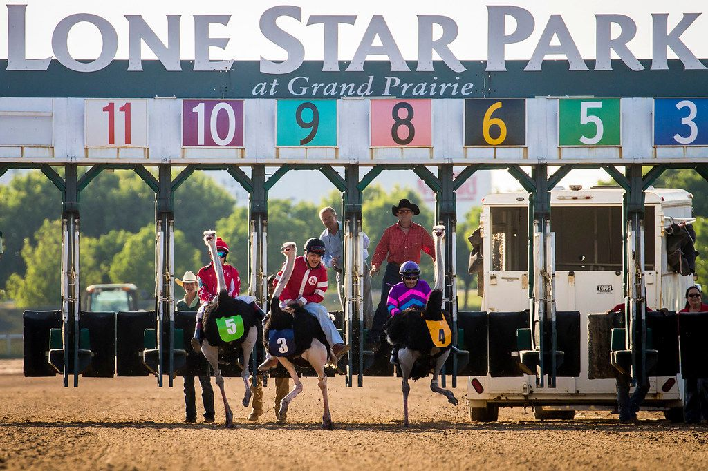"""Jockeys ride ostriches from the starting gates during """"Extreme Racing"""" at Lone Star Park on Saturday, April 28, 2018, in Grand Prairie, Texas. Ridden by Lone Star Park jockeys, camels, ostriches and zebras took to the track between horse races, with each animal paired with a local non-profit charity. (Smiley N. Pool/The Dallas Morning News)"""