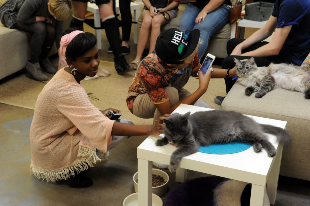 Cherish Starks pets Bernese at Cat Connection featuring adoptable cats from Operation Kindness in Dallas, TX on August 8, 2015.