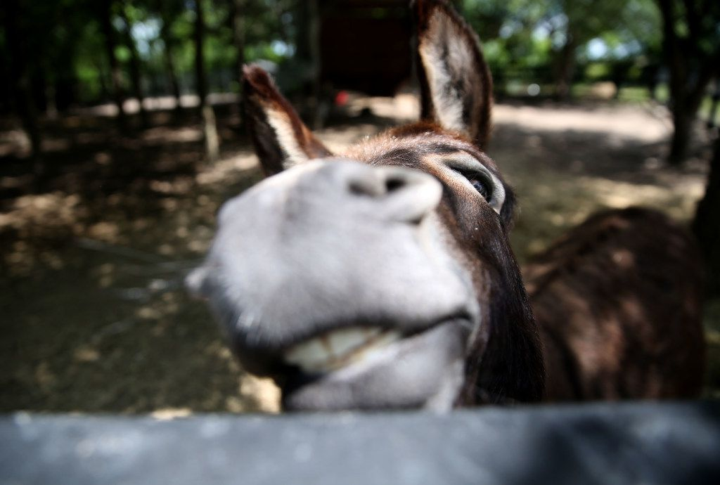 Simon the donkey at Savannah's Meadow in Celeste, Texas on Wednesday, June 28, 2017. The bed and breakfast and lavender farm features two treehouses and a camper for weekday and weekend rentals. (Rose Baca/The Dallas Morning News)