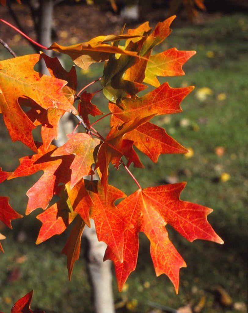 Bigtooth maple tree (Acer grandidentatum)
