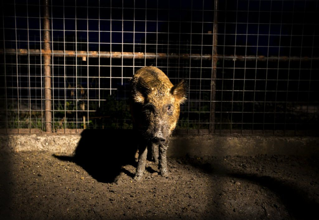A feral hog is kept in a pen at Ortiz Game Management in New Braunfels. (2014 File Photo/Austin American-Statesman)