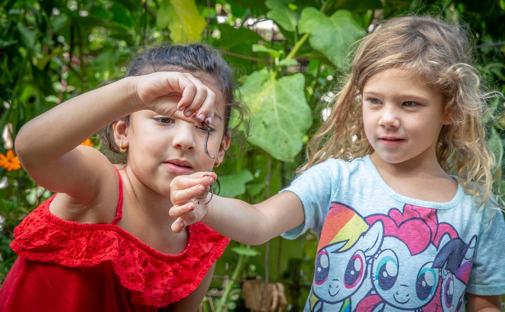 Pre-K students Aneeka Burak, left, and Jacqueline Brown check out the worms they found at Temple Emanu-El's school garden in Dallas.