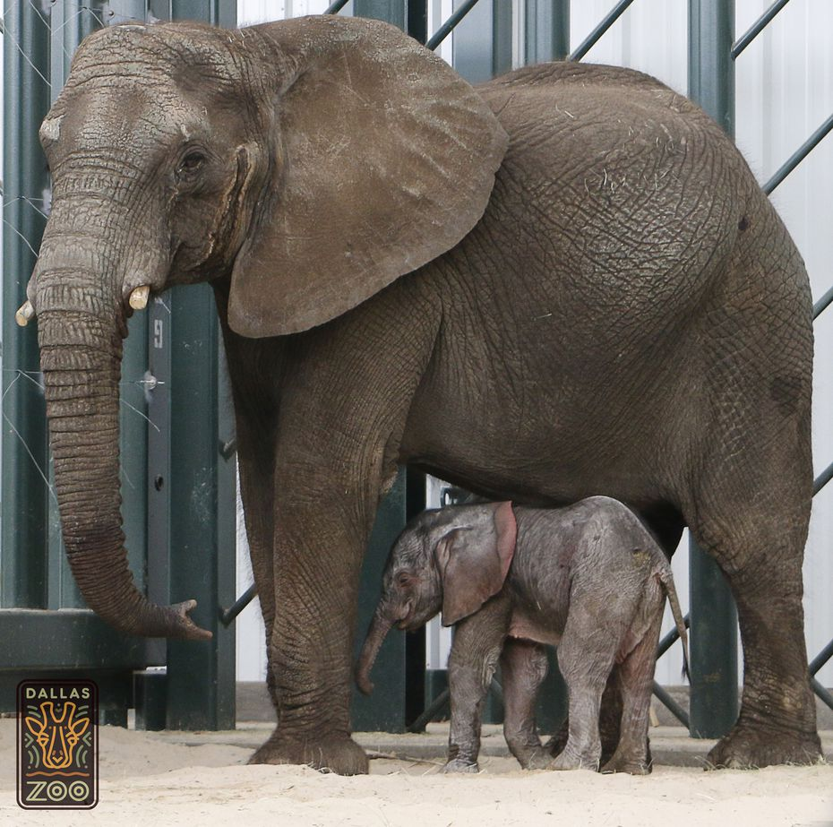 Mlilo and her new male elephant calf born at the Dallas Zoo on May 14. (Courtesy/Dallas Zoo)