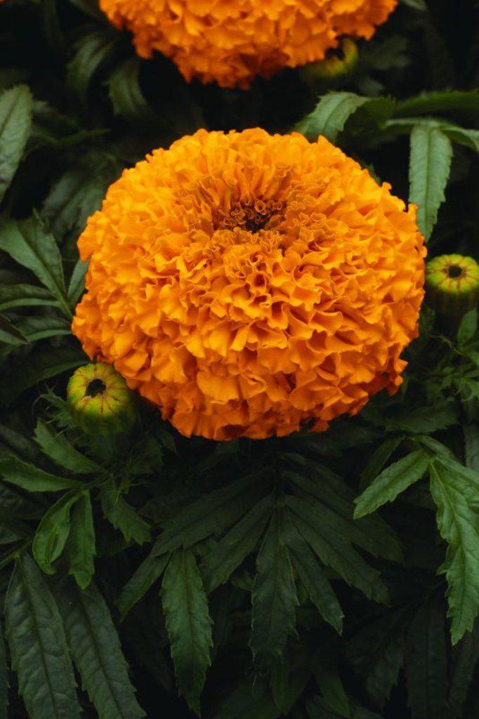 Marigold 'Moonsong Deep Orange'