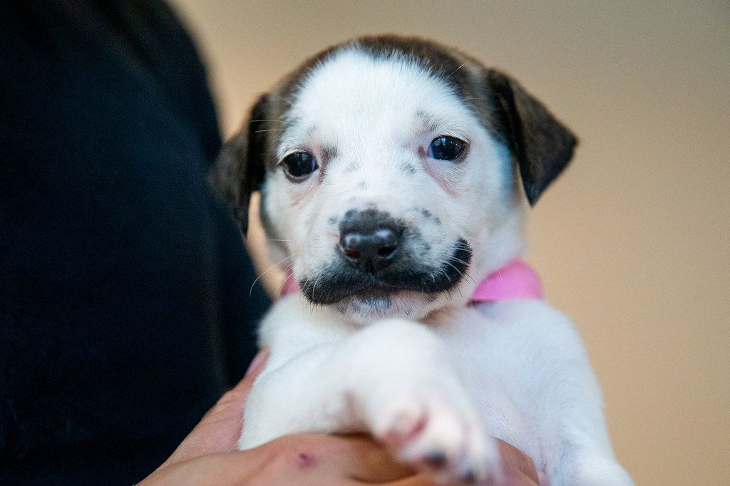 Salvador Dolly, a 5-week-old puppy, at the Hearts and Bones Rescue in Dallas on Thursday, Aug. 1, 2019. The puppy has gained internet fame for her coloring, which makes it appear as if she has a handlebar mustache.