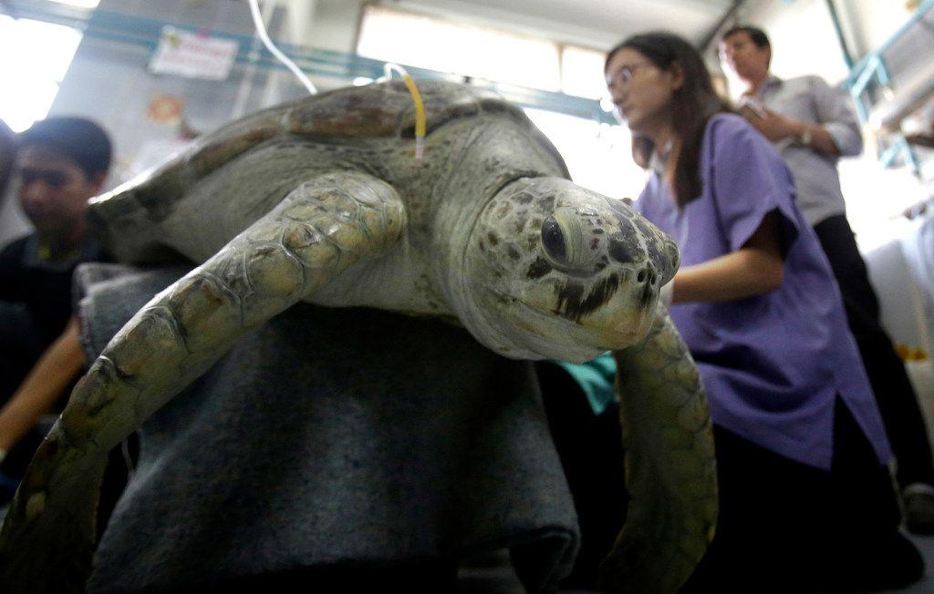 Blanco, una tortuga de 25 años, recibe un tratamiento de rehabilitación en la Universidad de Chulalongkorn en Bangkok, Tailandia. Veterinarios operaron en el Banco el lunes para eliminar 915 monedas  de su estómago. (AP)