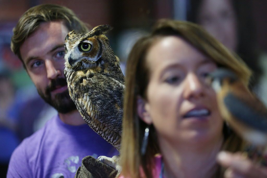 Simon McNeny (left), holding a great horned owl, and his wife, Lindsey McNeny, of the bird education program Window to the Wild, holding an American kestrel, show guests their collection of species during Earth Day Texas at Fair Park in Dallas Saturday April 23, 2016. The event had 771 environmental nonprofit groups, government agencies, business and academic institutions. The three-day event includes speakers, student field trips, and the E Day conference. (Andy Jacobsohn/The Dallas Morning News)