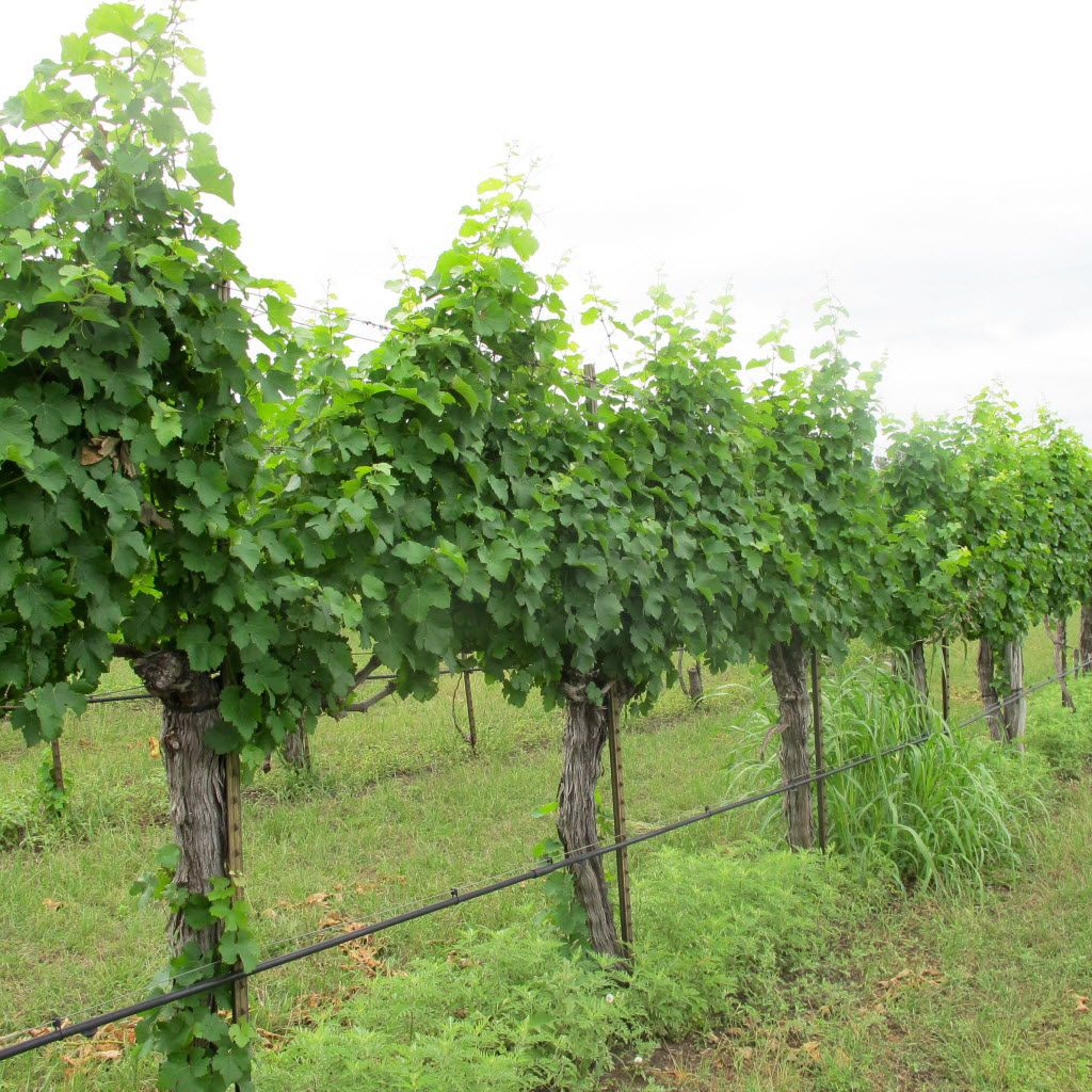 Grapevines at Spicewood Vineyards