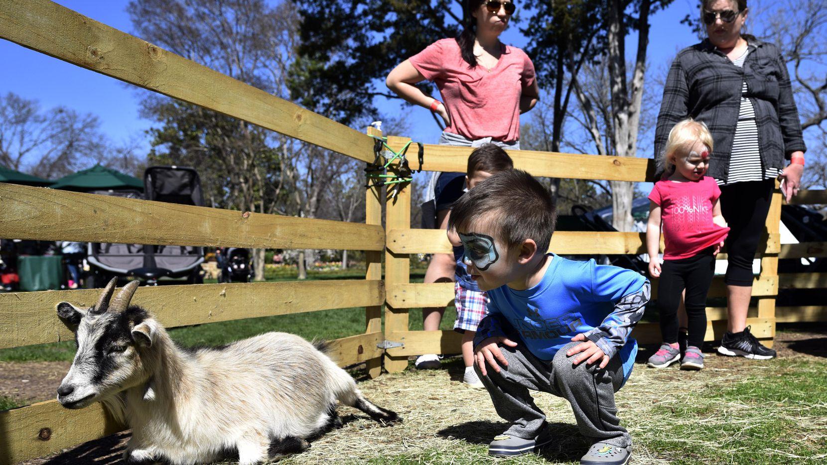 Erik Fryes, de 2 años, visita a una cabra bebé en un petting zoo en el Dallas Arboretum, el lunes 5 de marzo. (ESPECIAL PARA AL DÍA/BEN TORRES)