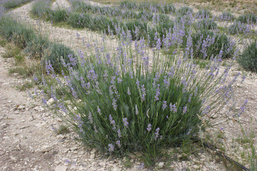 Close-up of lavender growing at Texas Lavender Hills, Blanco, Texas