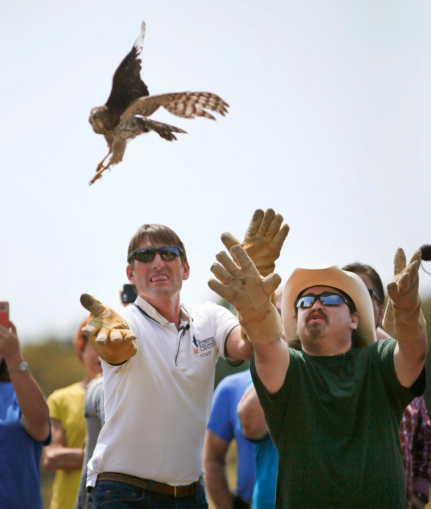 Blackland Prairie Raptor Center executive director Erich Neupert (left) and cabdriver William Bruso of Houston release Harvey, a juvenile Cooper's hawk that darted into Bruso's cab during Hurricane Harvey, to the wild at Oak Point Park Nature Preserve in Plano.