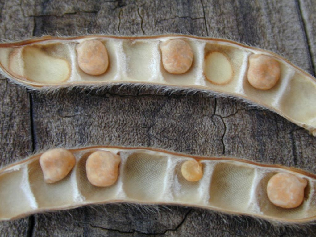Closeup of Texas bluebonnet seeds in the pod