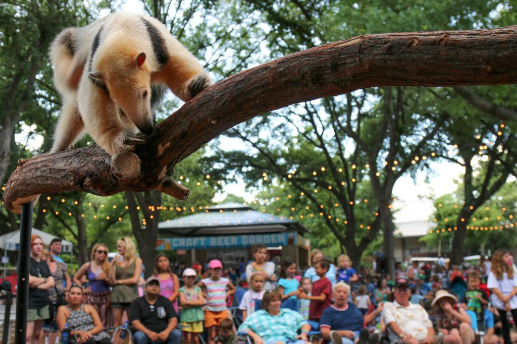 An Animal Adventures presentation with a small anteater kicks off a Safari Nights concert at the Dallas Zoo. The zoo reached a million visitors Saturday for the second year in a row.