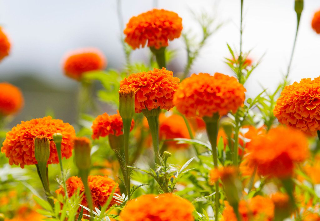 'Giant Orange' marigold flowers at Tin Cup Farm